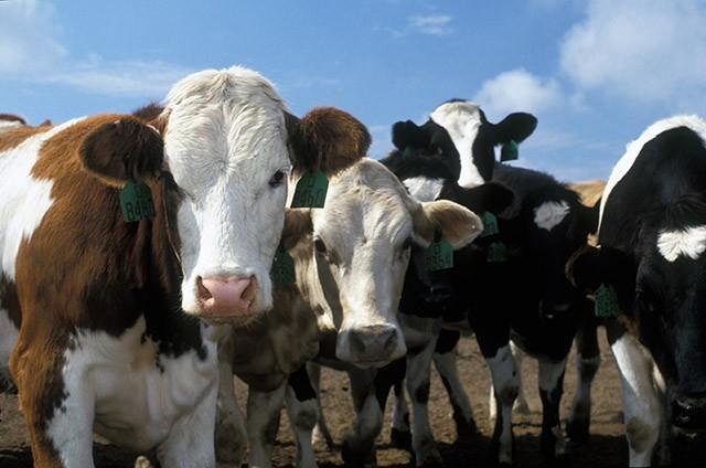 роль мелассы в кормлении коров