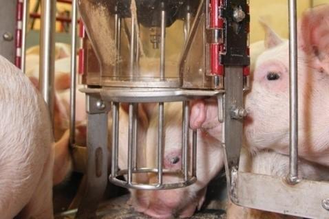 Кормоавтомат для свиней Тубомат