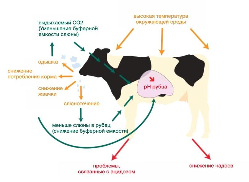 Признаки и последствия теплового стресса у коров