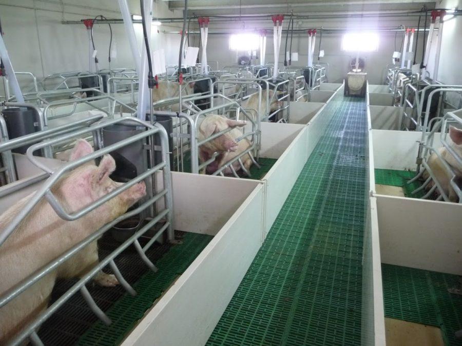 утримання свиней на щільовій підлозі