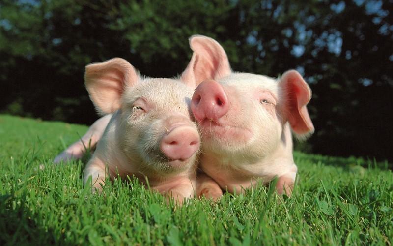 свиноводство в Украине